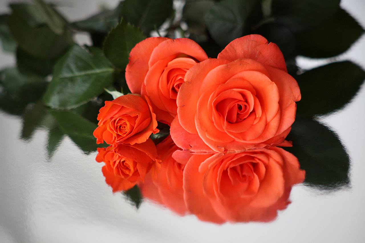 Bilder rosa Rosa farge Blomster Nærbilde Roser blomst