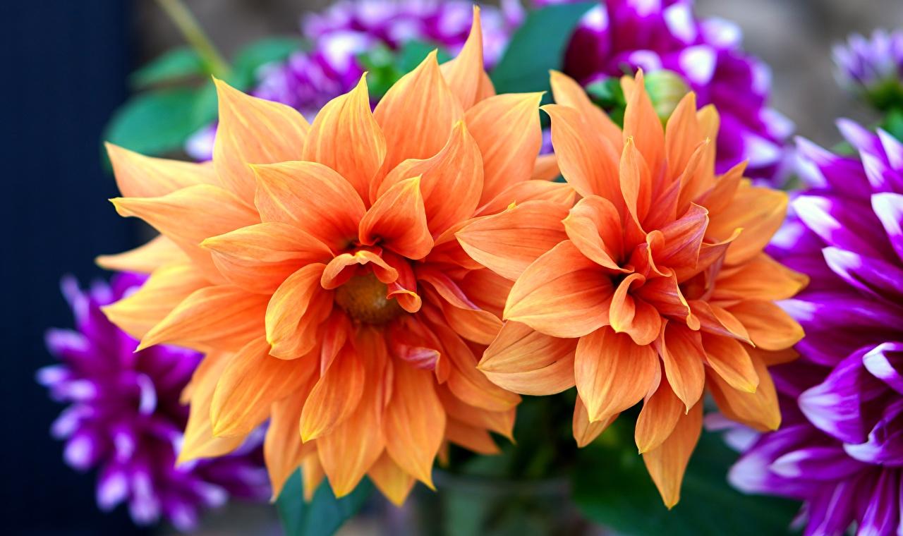 Foto Orange Blumen Dahlien Großansicht Blüte Georginen hautnah Nahaufnahme