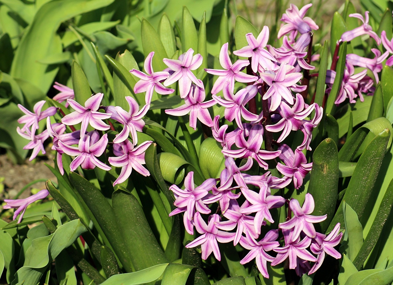 Pictures Pink color flower Hyacinths Flowers