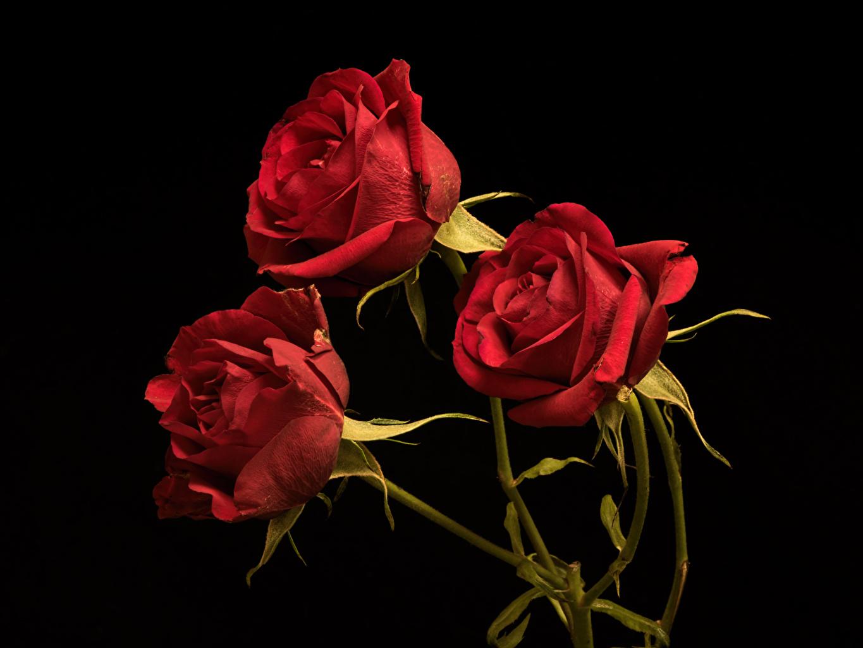 Desktop Wallpapers Red Roses Flower Three 3 Black Background