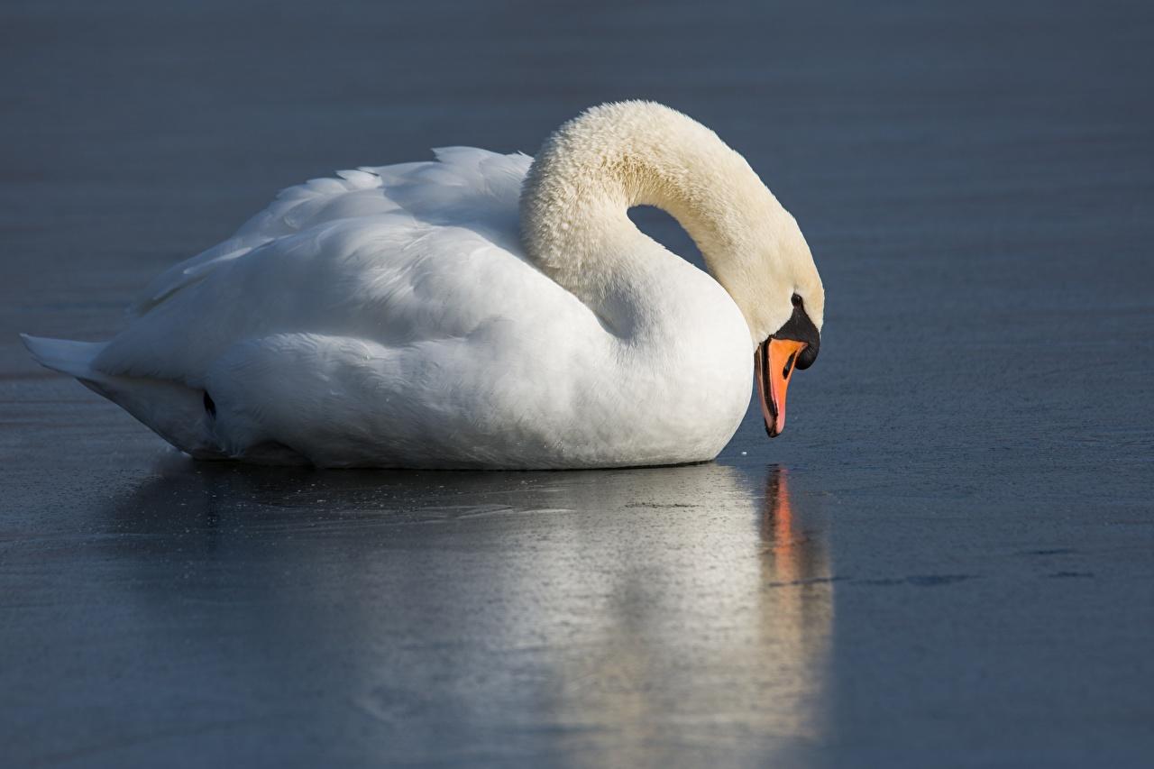 Photos bird swan Ice White Food Birds Swans