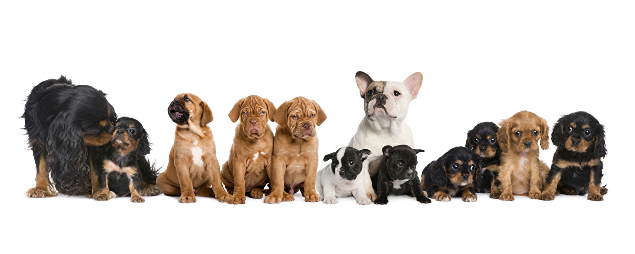 Picture puppies Bulldog Spaniel Dogs Many animal White background Puppy dog Animals