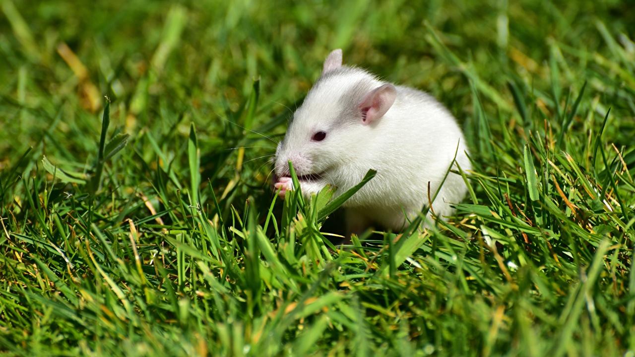 Desktop Wallpapers Mice White Grass animal Animals