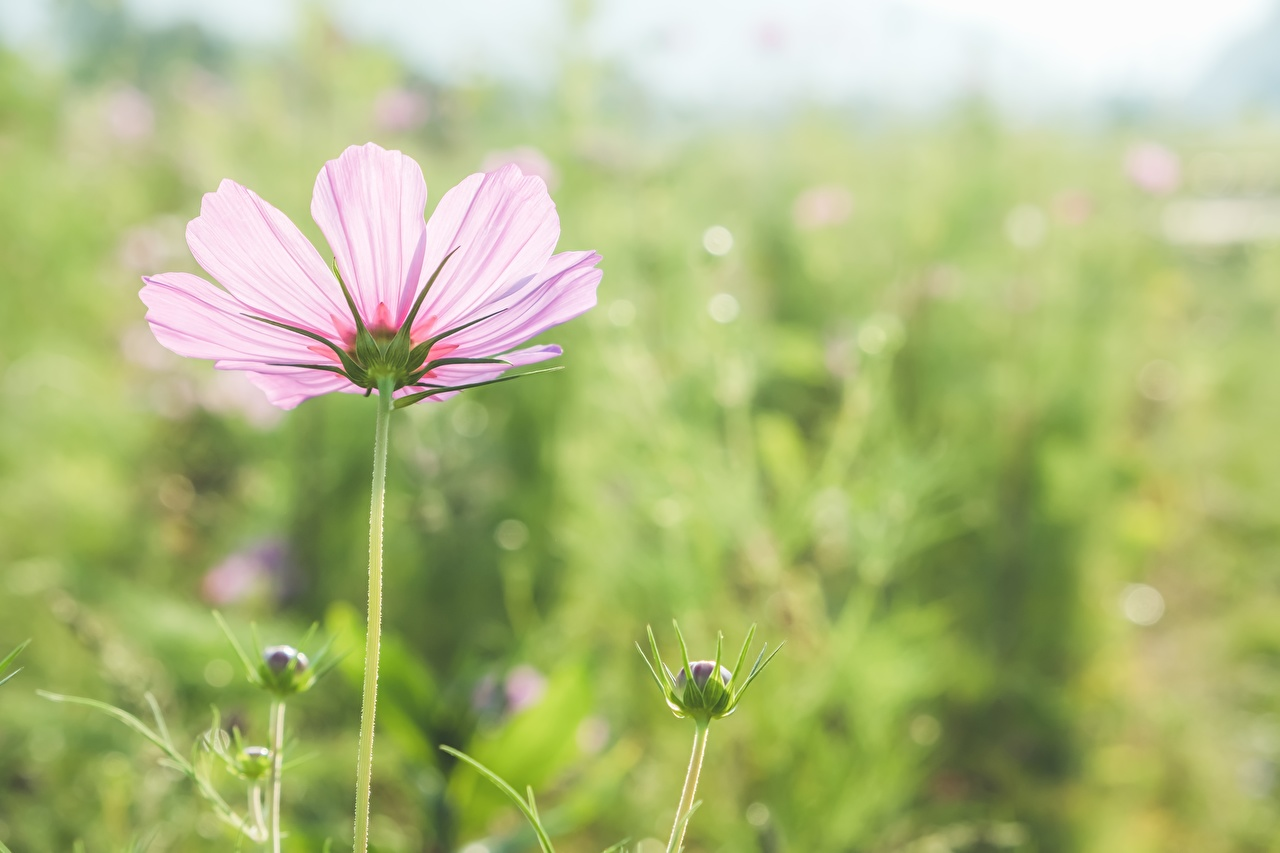 Images Bokeh Pink color flower Cosmos plant Closeup Flower-bud blurred background Flowers