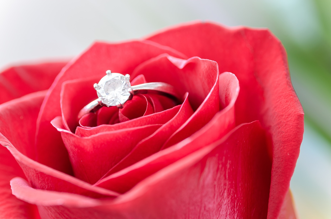 Photo Brilliant Roses Ring Flowers Macro photography Closeup diamond cut Macro