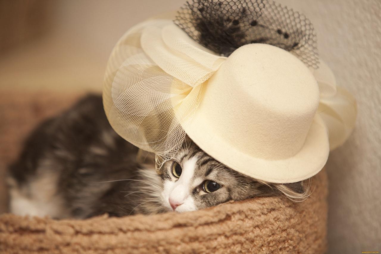 Обои шляпка, Кошка, кот. Кошки foto 11