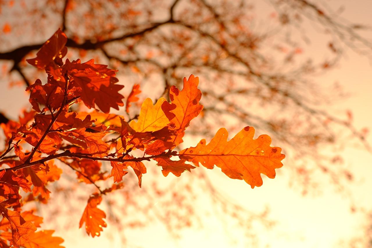 Image Leaf Bokeh Oak Autumn Nature Branches Foliage blurred background