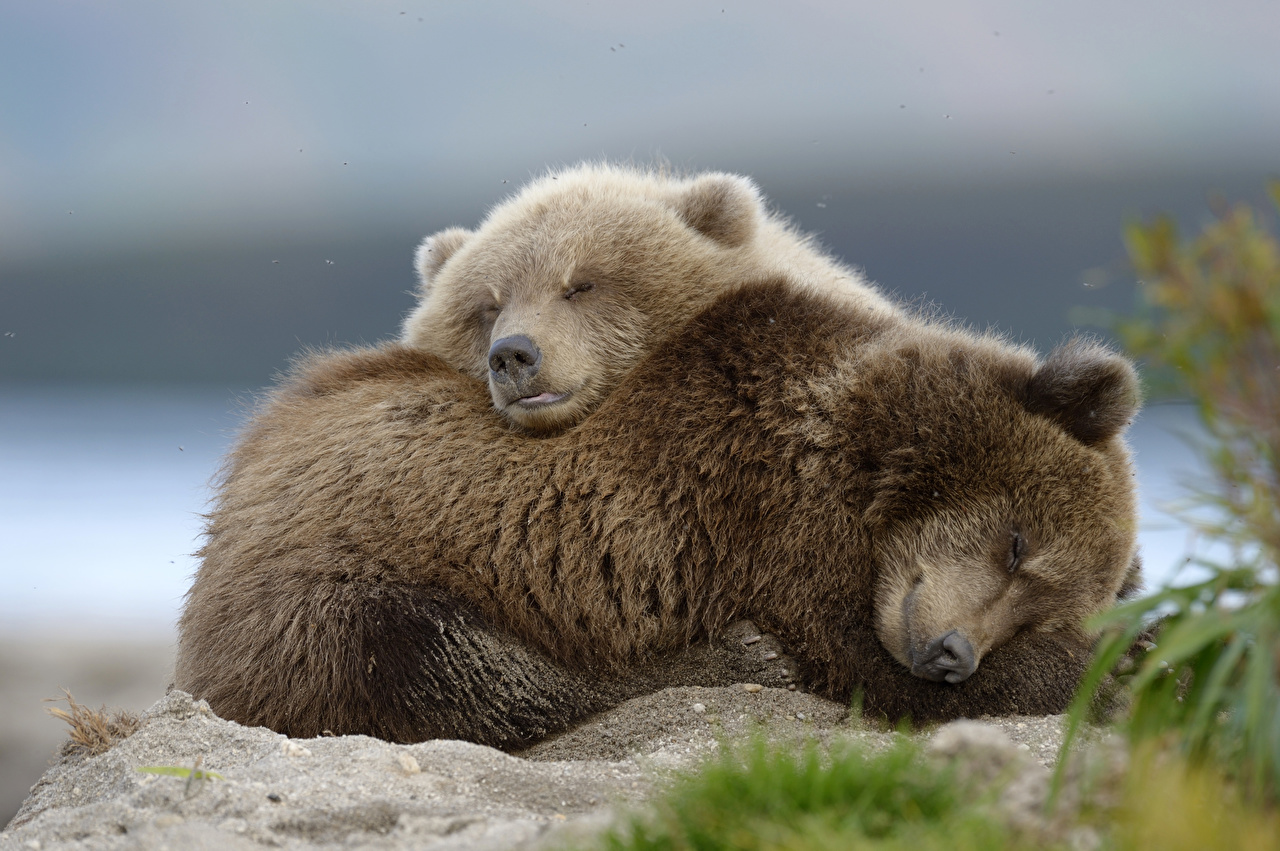 Desktop Wallpapers Brown Bears Cubs laying Cute 2 Sleep animal Grizzly esting Lying down sweet lovely pretty Two sleeping Animals
