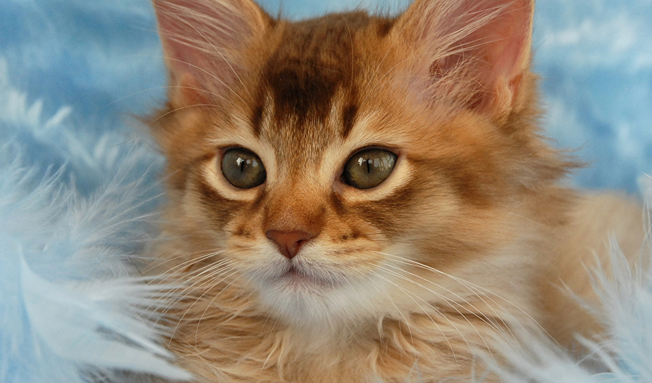Wallpaper Cats Eyes Ginger color animal Staring cat red orange Glance Animals
