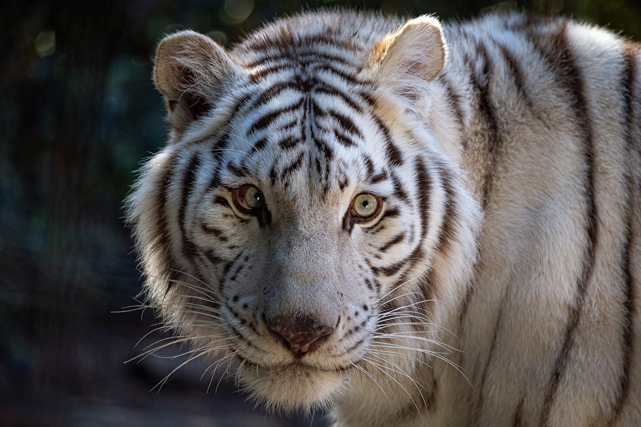 Desktop Wallpapers tiger White Snout Glance Animals Tigers animal Staring