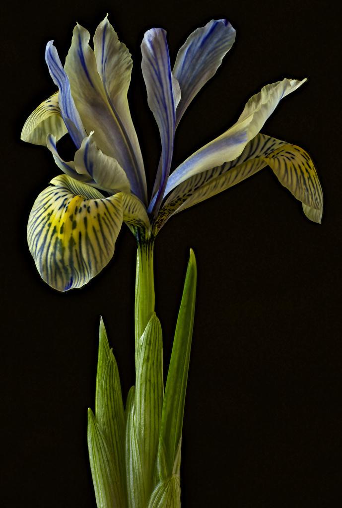 Photos flower Irises Closeup Black background  for Mobile phone iris Flowers