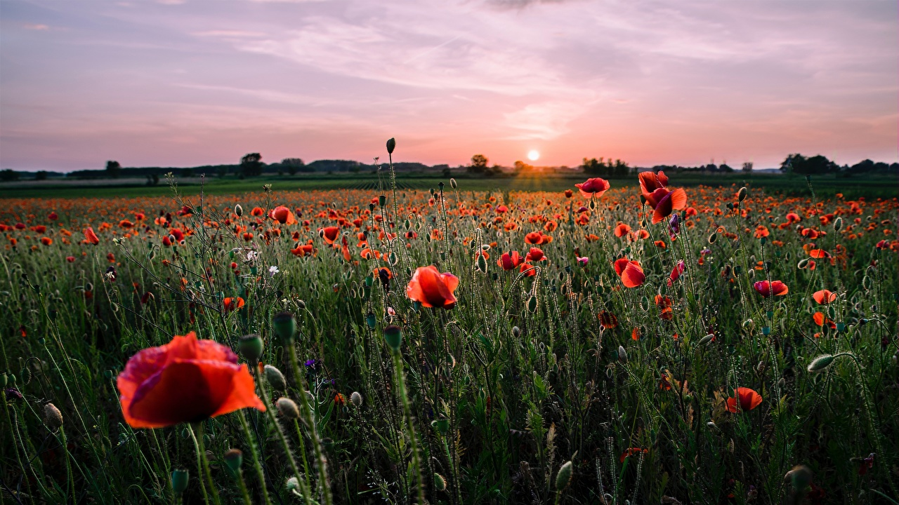 Wallpaper Red Sun Nature Meadow Poppies Sunrises and sunsets Flower-bud papaver Grasslands sunrise and sunset