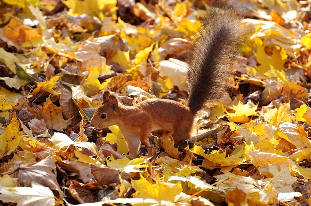 Pictures Squirrels Leaf Autumn Tail Animals Foliage animal