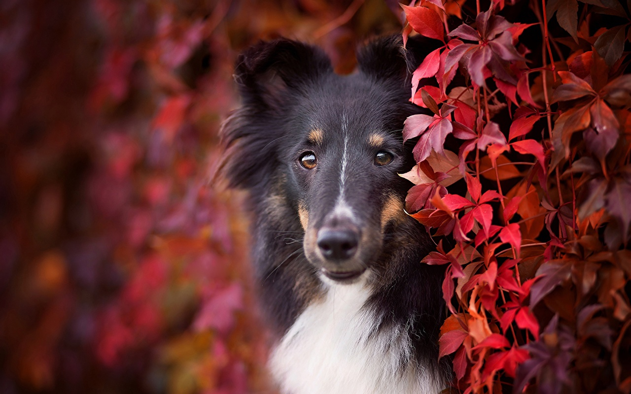 Pictures Collie dog Snout Glance animal Dogs Staring Animals