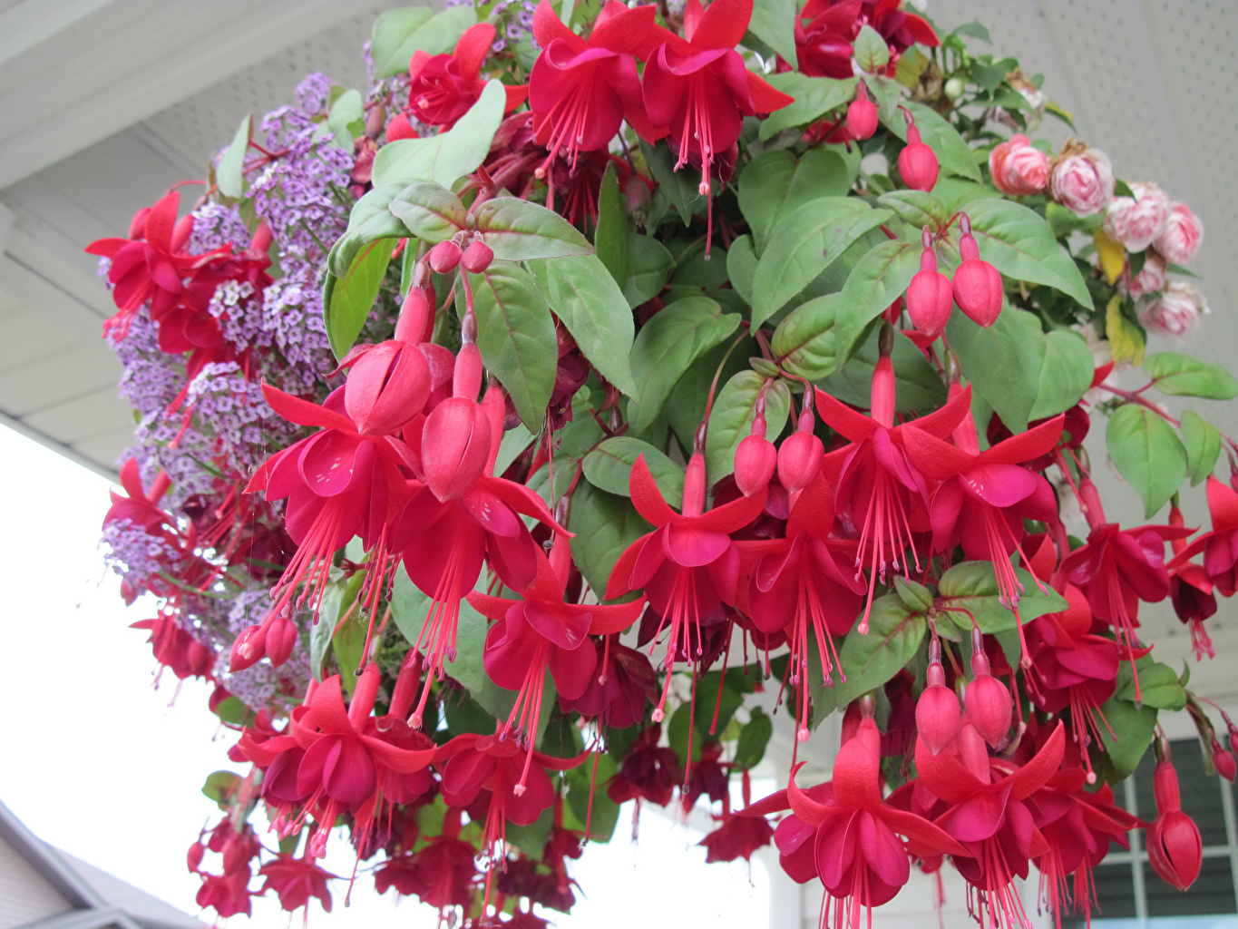 Desktop Wallpapers Red Fuchsia Flowers Closeup flower