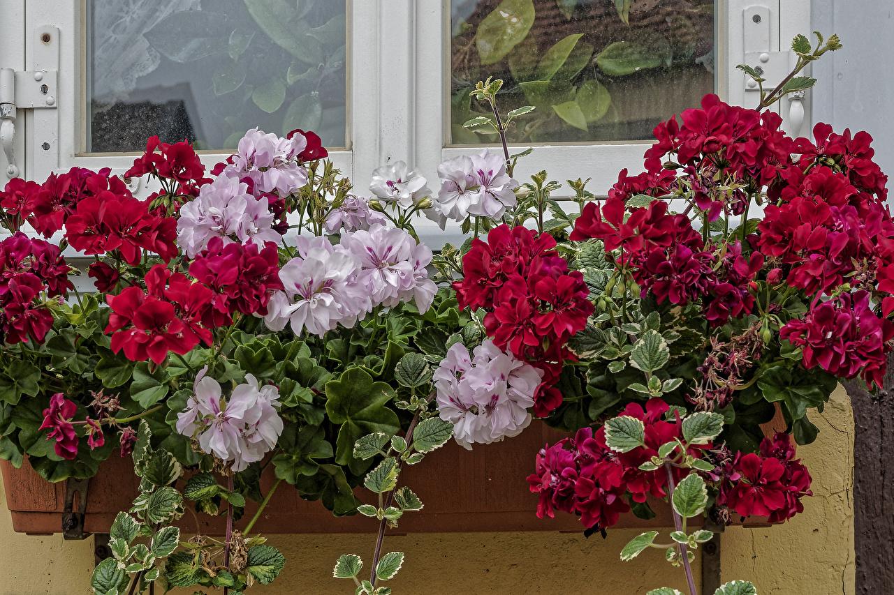 Fotos von Blüte Geranien Viel Blumen Storchschnäbel