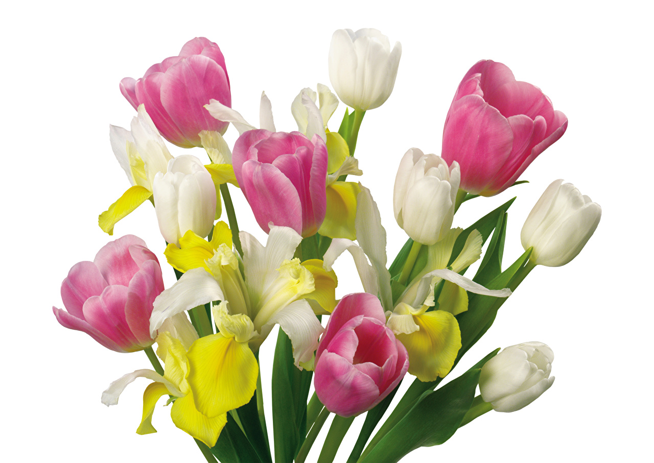 Photos Bouquets Tulips Flowers Narcissus White background Daffodils