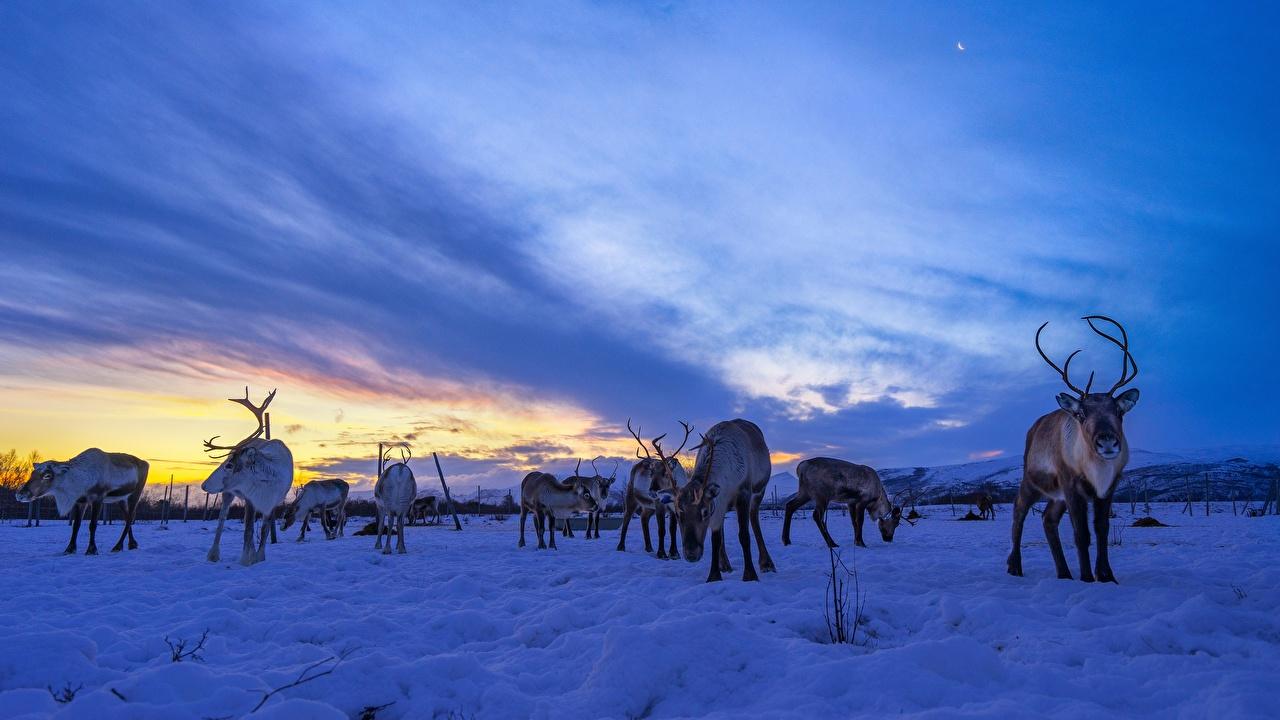 Foto Hirsche Reindeer Herde Schnee Himmel Abend Tiere ein Tier