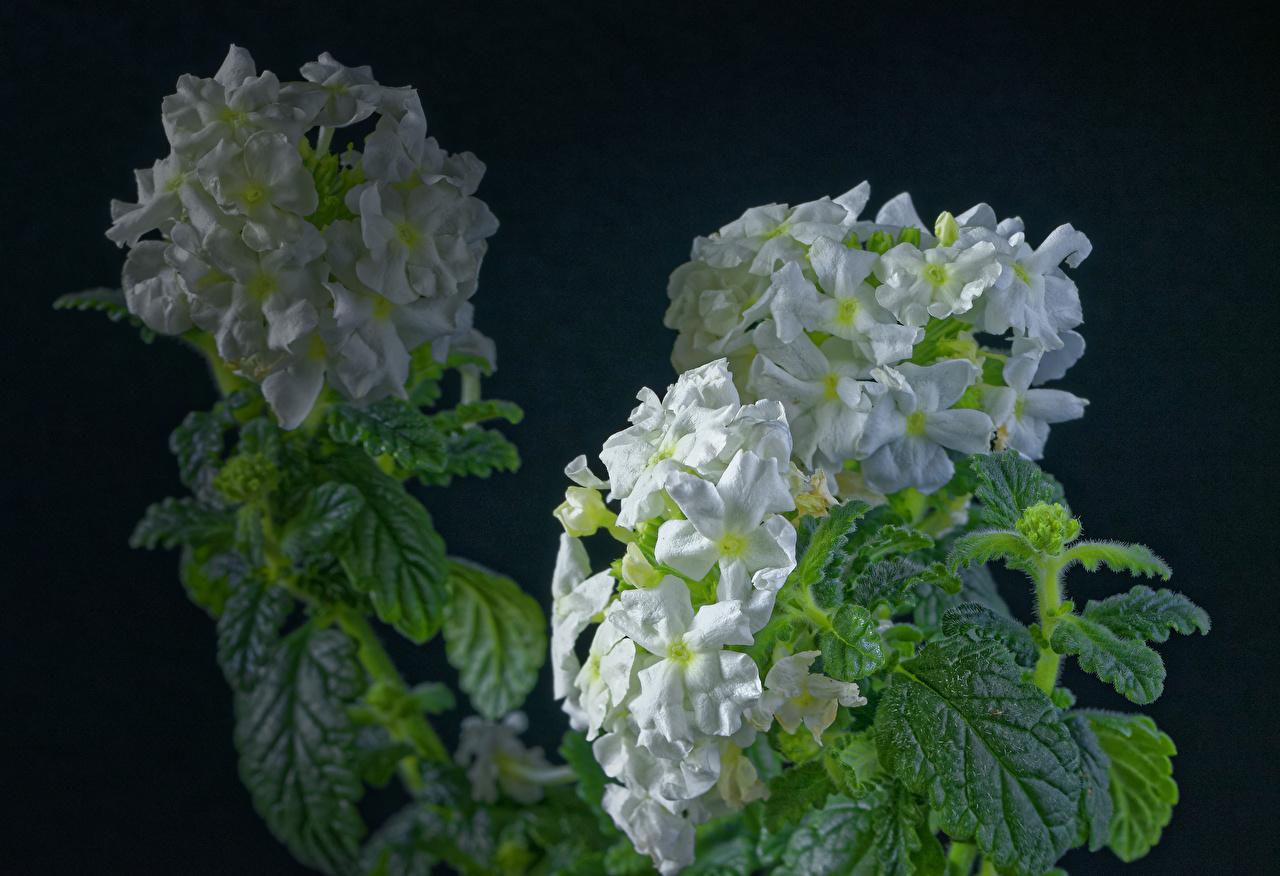 Verbena Fundo preto Branco flor Flores
