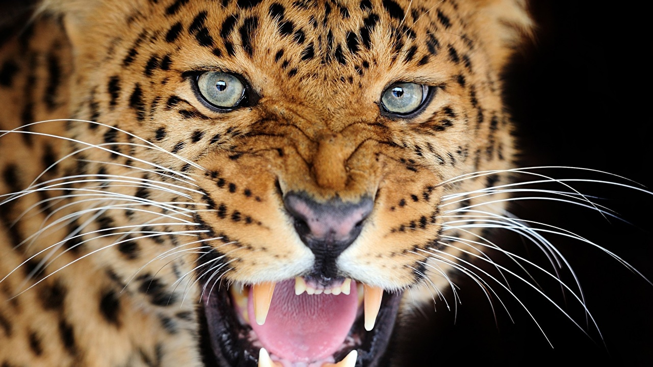 Images Big cats Leopards Roar Whiskers Snout animal Staring leopard angry Glance Animals