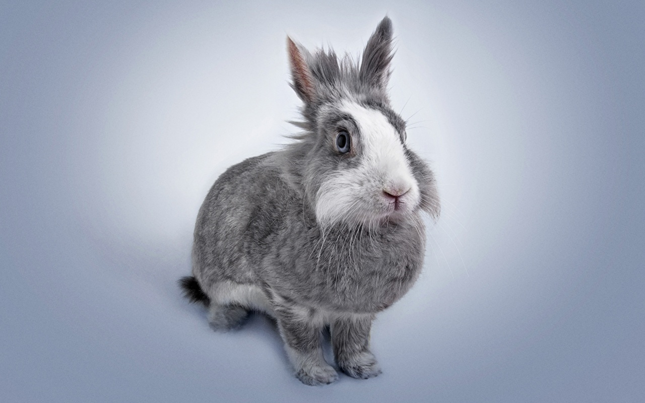 Image rabbit gray Animals Rabbits Grey animal