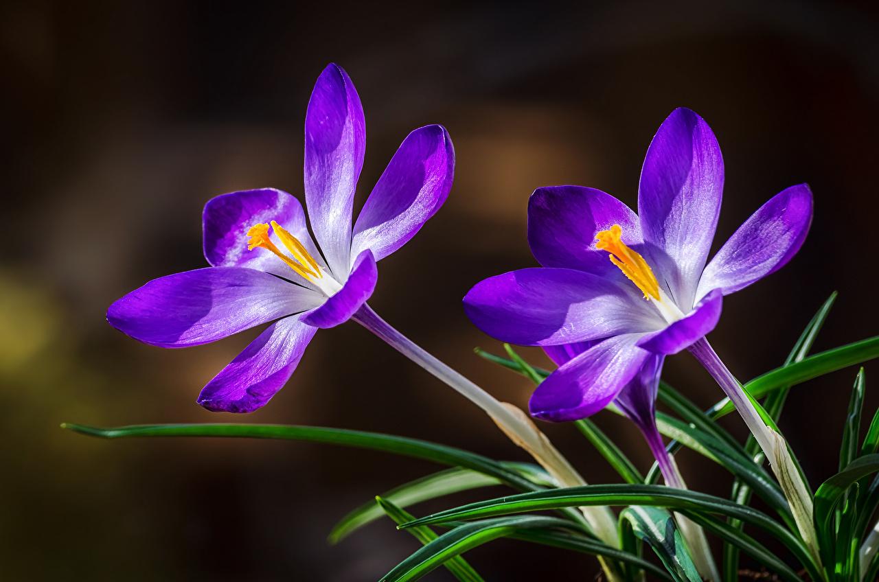 ,番紅花,特寫,2 兩,花卉,