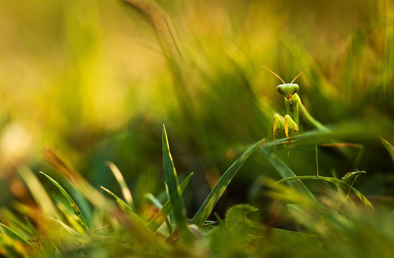 Desktop Wallpapers Insects mantodea Grass Closeup Animals Mantis animal