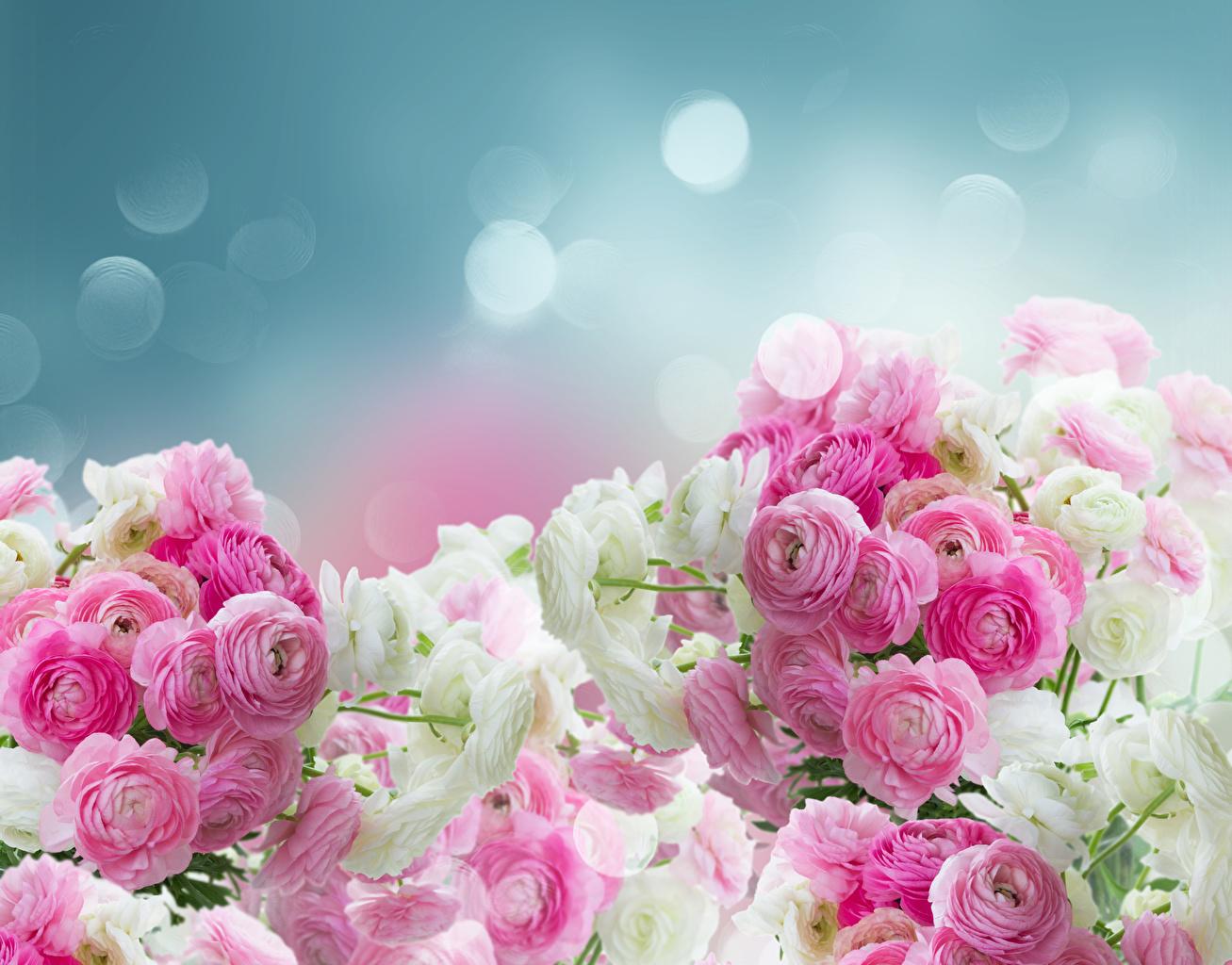 Fonds D Ecran Renoncule Fleurs Telecharger Photo
