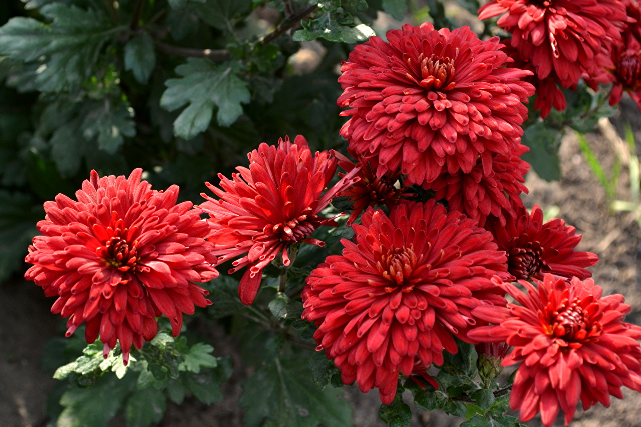 Picture Red flower Chrysanthemums Mums Flowers Chrysanths