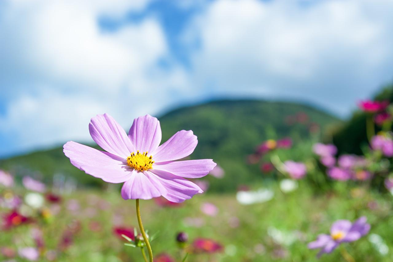 Fotos unscharfer Hintergrund Rosa Farbe Blüte Schmuckkörbchen Bokeh Blumen Kosmeen