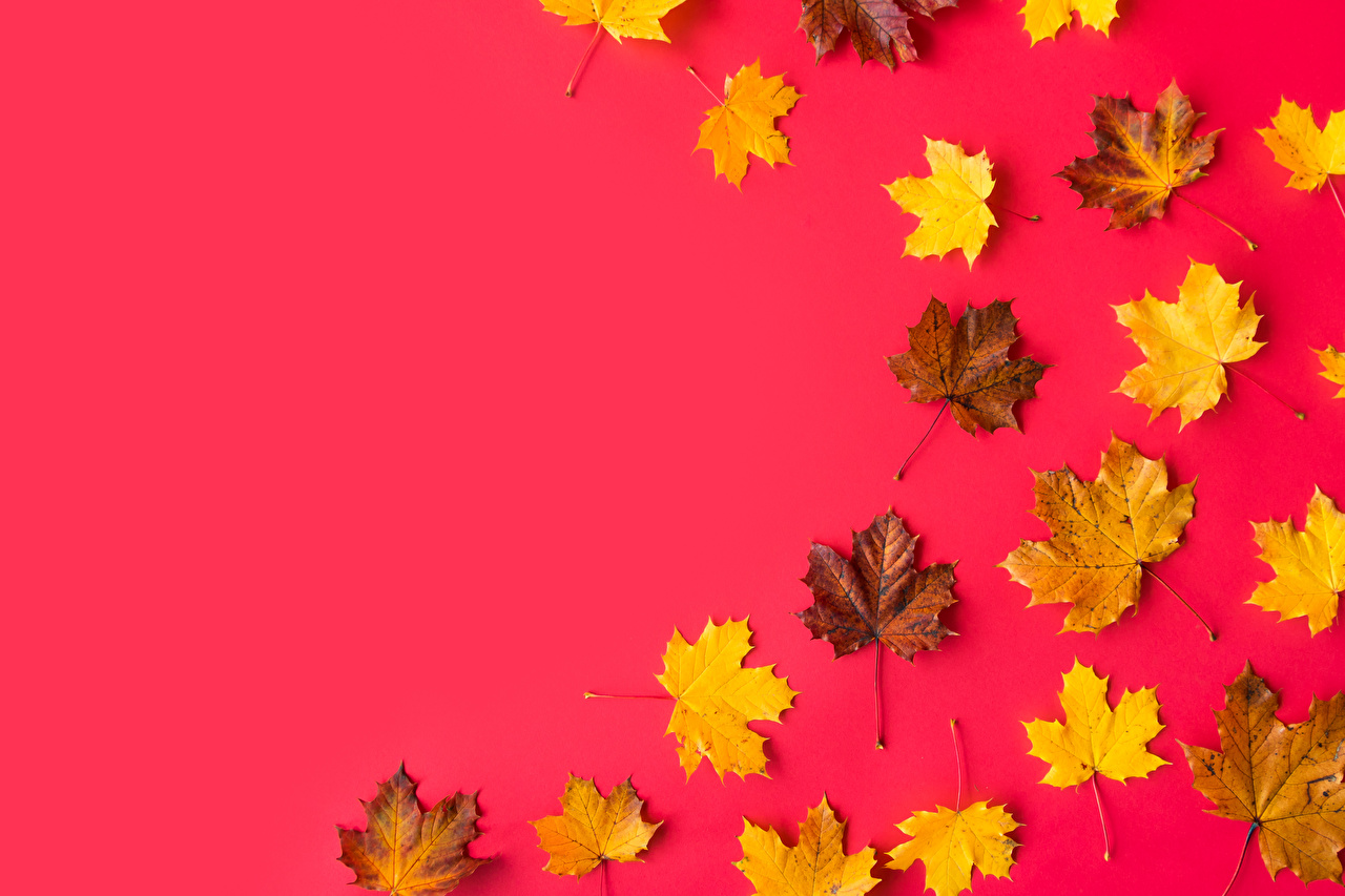 Wallpaper Foliage acer Template greeting card Red background Leaf Maple