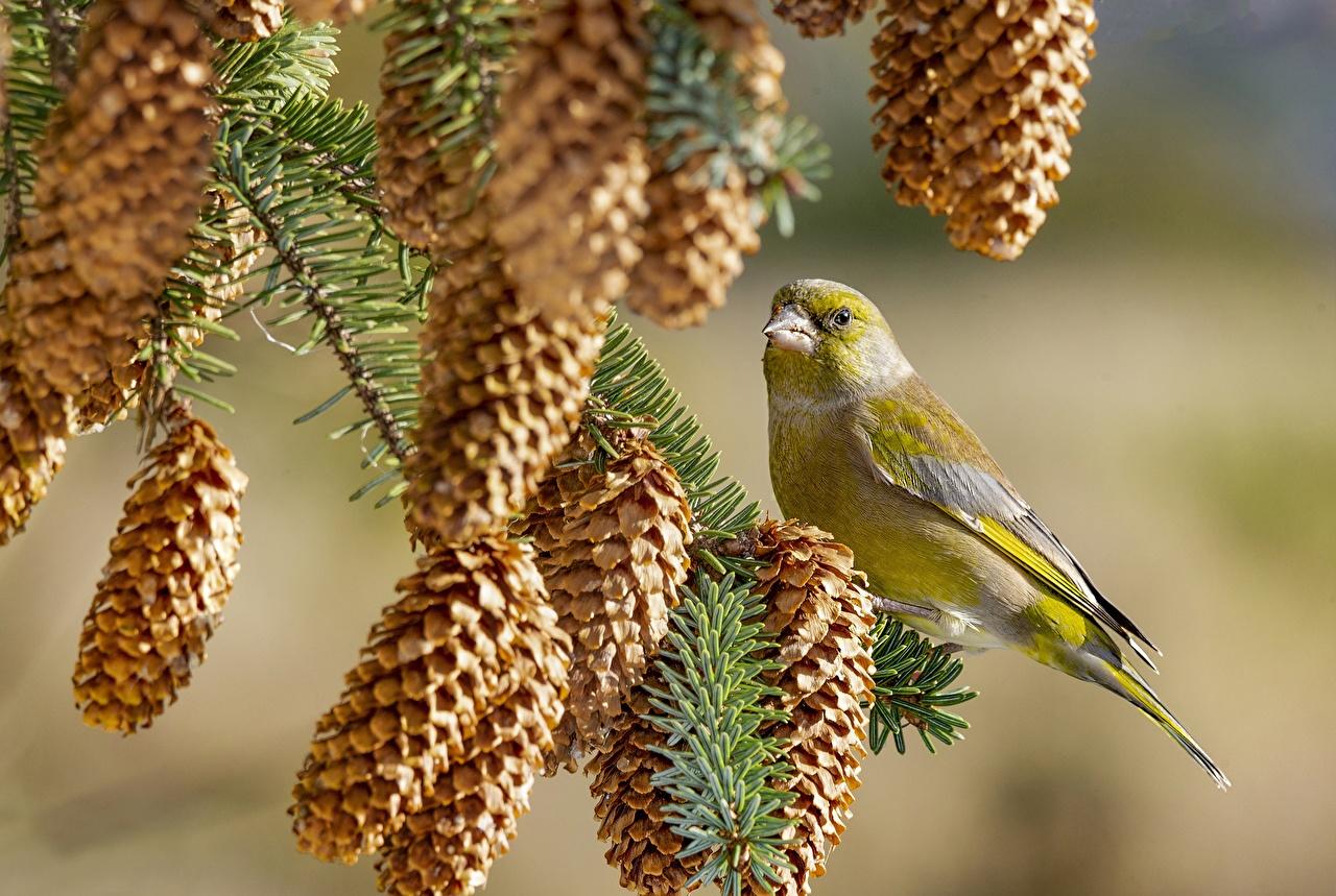 Pictures bird Chloris chloris Branches Conifer cone animal Birds Pine cone Animals