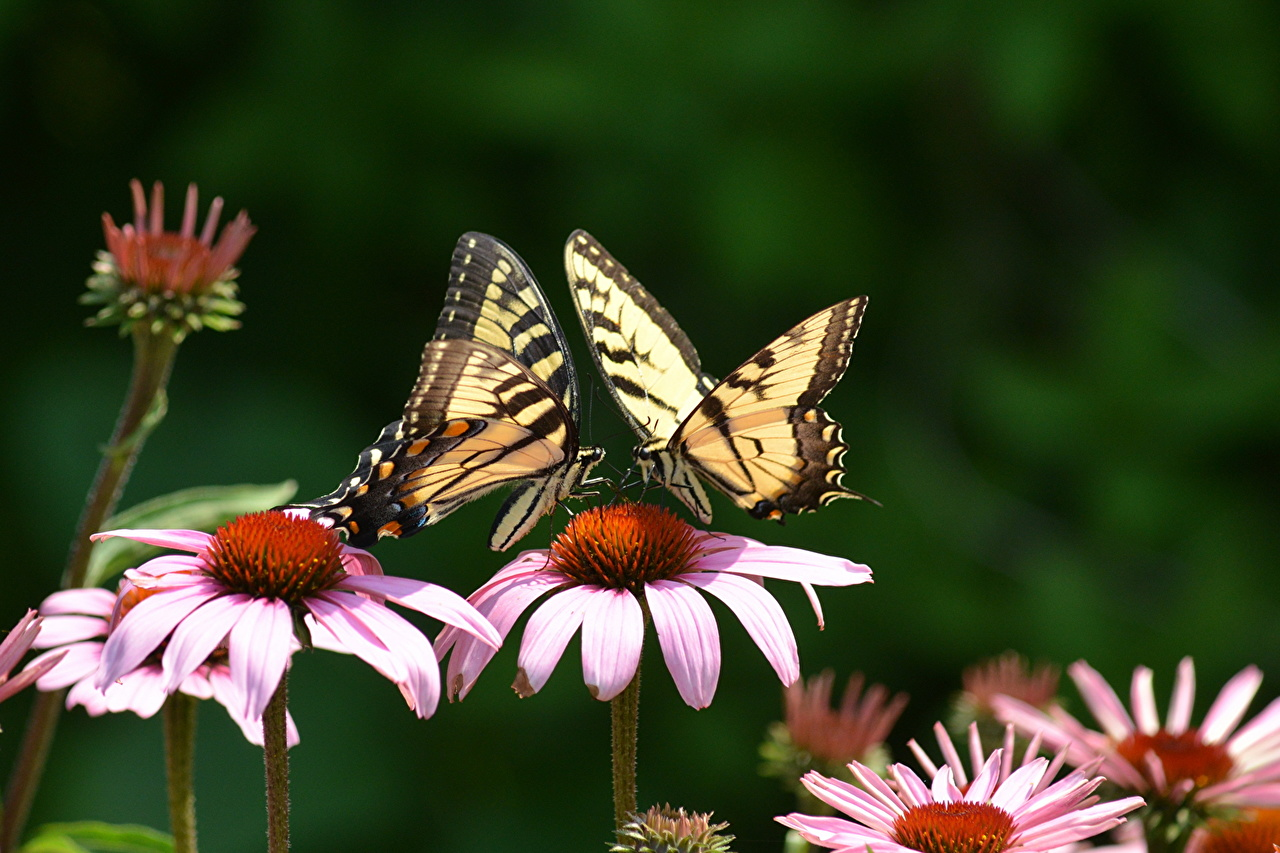 Picture Insects Butterflies Echinacea 2 flower Closeup Animals butterfly Two Flowers animal