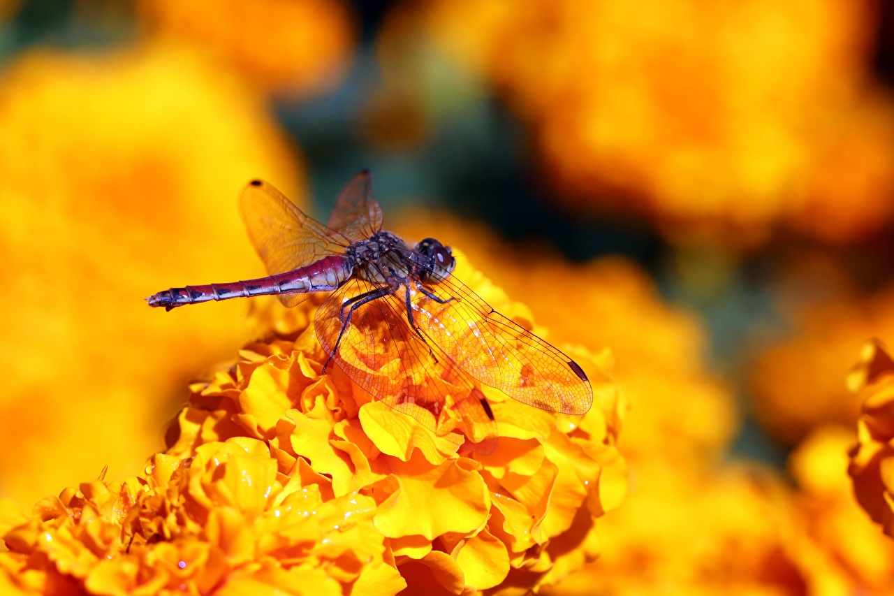 Desktop Wallpapers Insects Dragonflies Bokeh animal Closeup odonata dragonfly blurred background Animals
