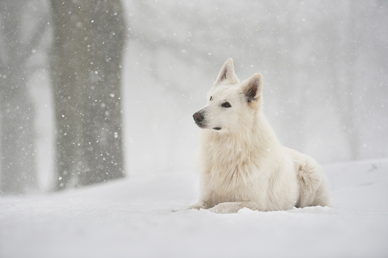 Fotos Shepherd Hunde Berger Blanc Suisse Weiß Schnee Tiere