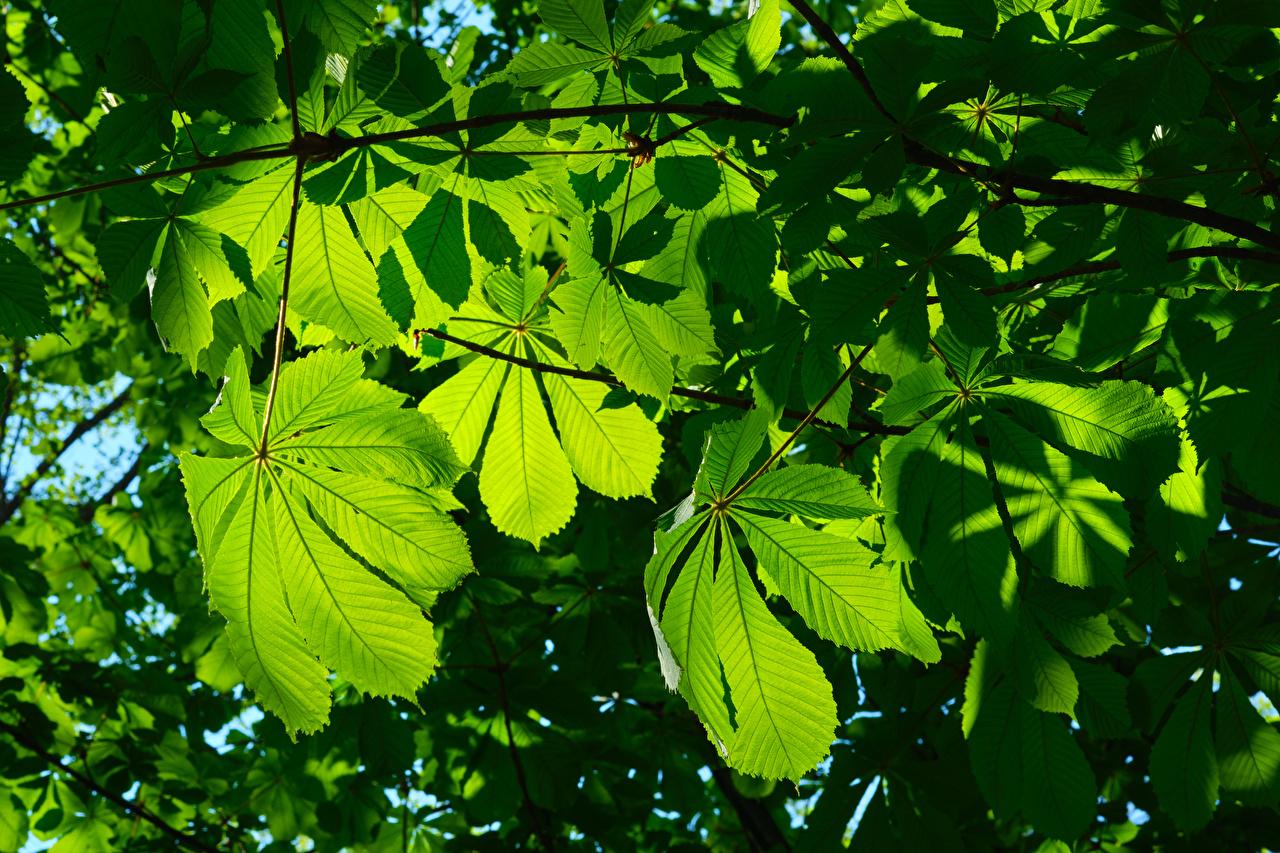 Fotos von Kastanien Blattwerk Natur Ast Blatt