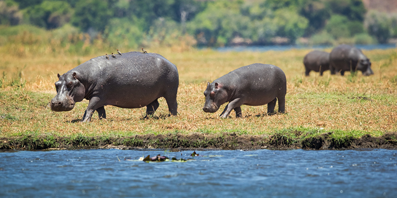 Pictures hippopotamus Cubs blurred background Animals Hippos Bokeh animal