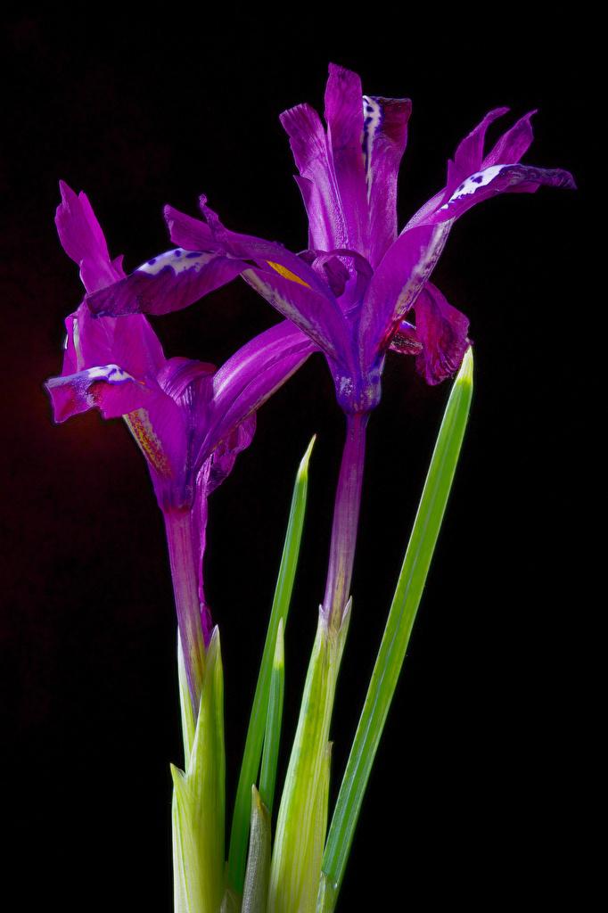 Fotos von 2 Violett Blumen Schwertlilien Nahaufnahme Schwarzer Hintergrund  für Handy Zwei Blüte hautnah Großansicht