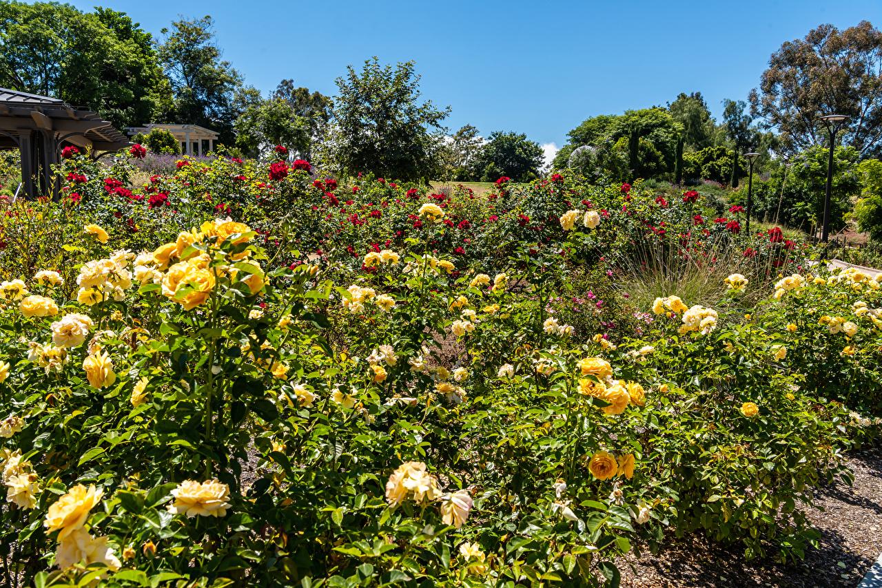Картинки Калифорния США South Coast Botanic Garden Розы Природа Сады Кусты калифорнии штаты америка роза кустов