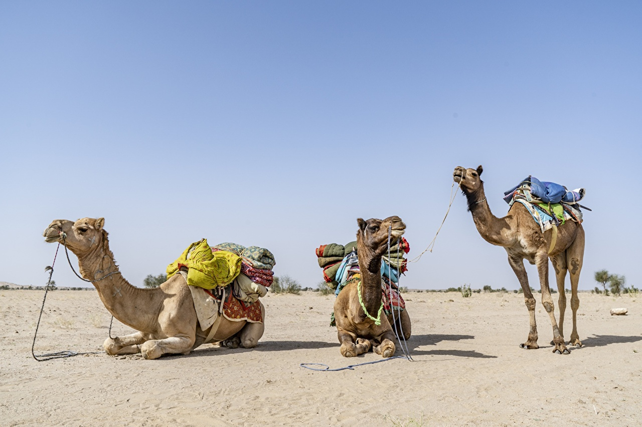 Pictures Camels laying Desert Three 3 animal esting Lying down Animals