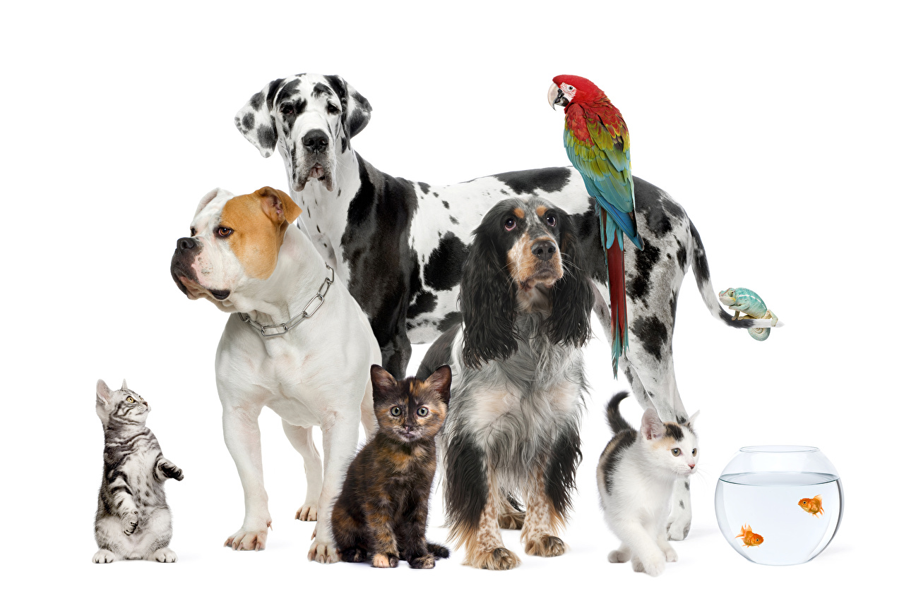 Picture Bulldog Spaniel cat Dogs Fish parrot Animals White background dog Cats Parrots animal