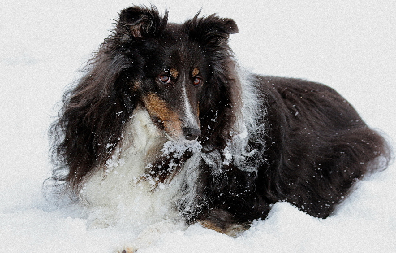 Photos Collie dog Snow Glance animal Dogs Staring Animals