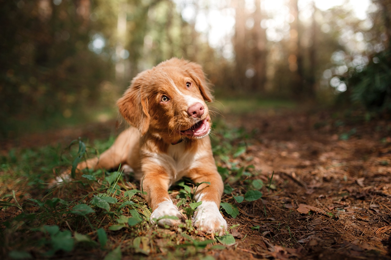 Pictures Puppy Nova Scotia Duck Tolling Retriever Dogs esting Bokeh Glance animal puppies dog laying Lying down blurred background Staring Animals