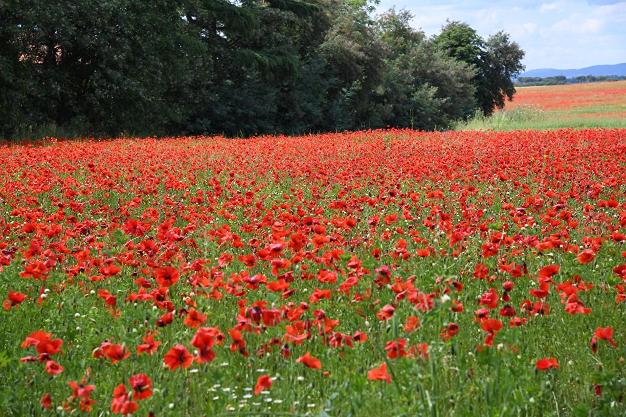 Фотография красная Природа мак Луга Много Красный красные красных Маки