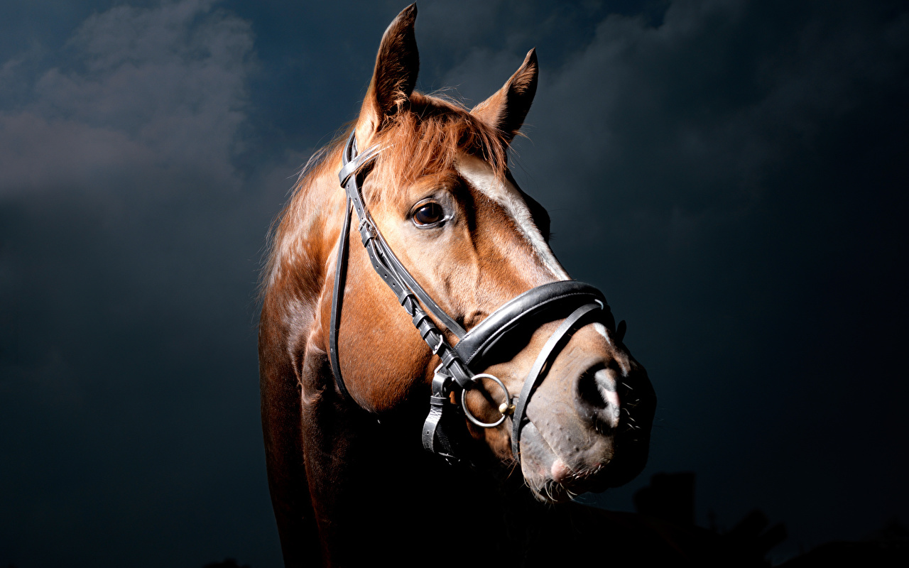 Pictures horse Head Glance Animals Horses animal Staring