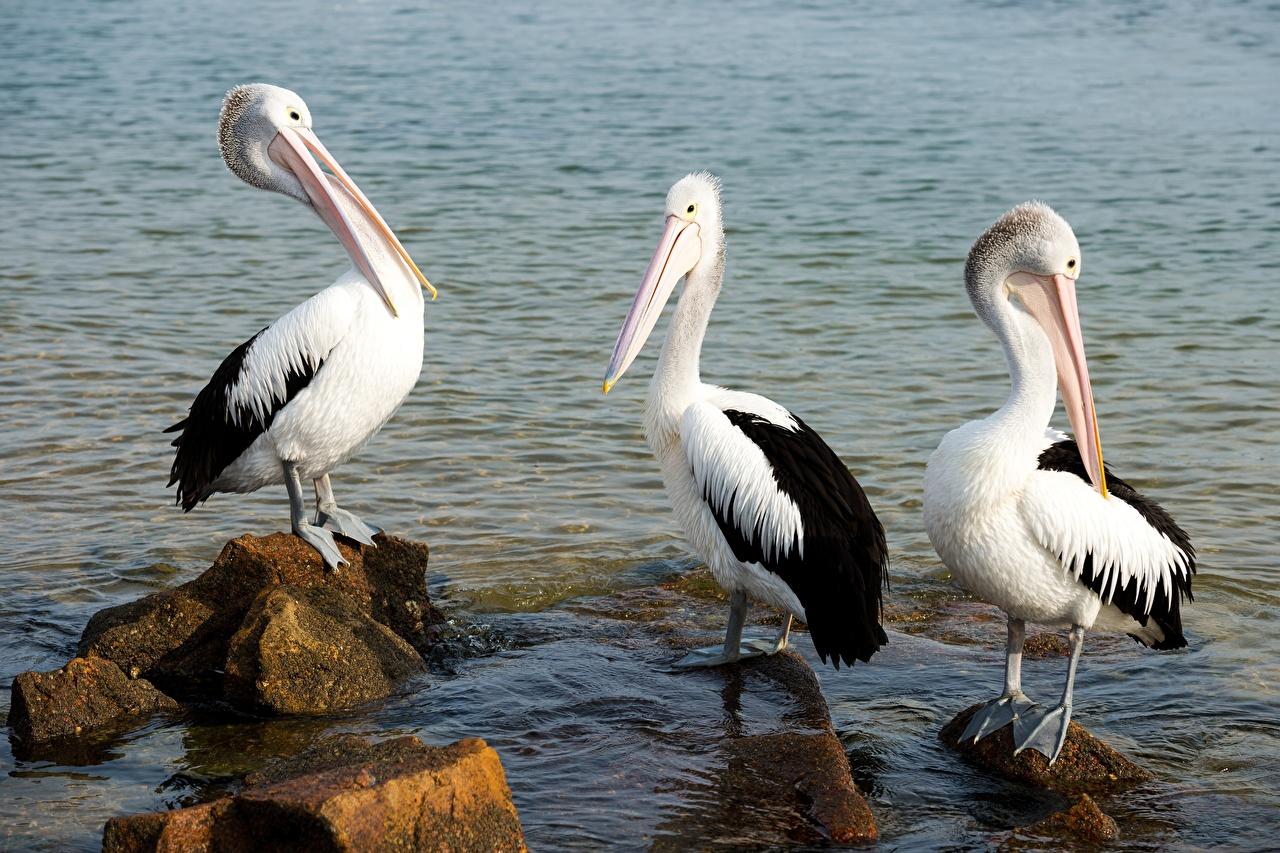 Foto Vogel Pelikane Wasser Steine Drei 3 Tiere Vögel Stein ein Tier