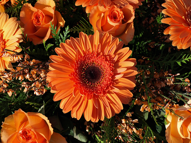 Pictures Roses Orange Gerberas Flowers Closeup flower