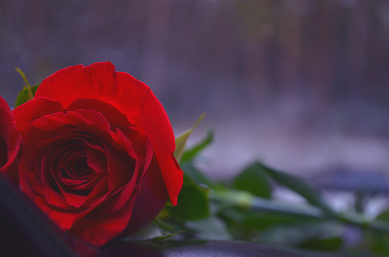 Images Red rose flower Closeup Roses Flowers