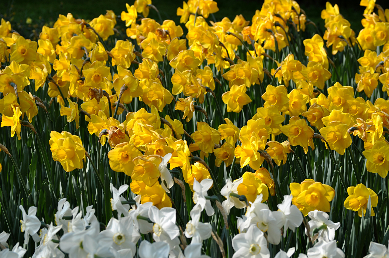 Pictures Yellow Flowers Narcissus Closeup flower Daffodils