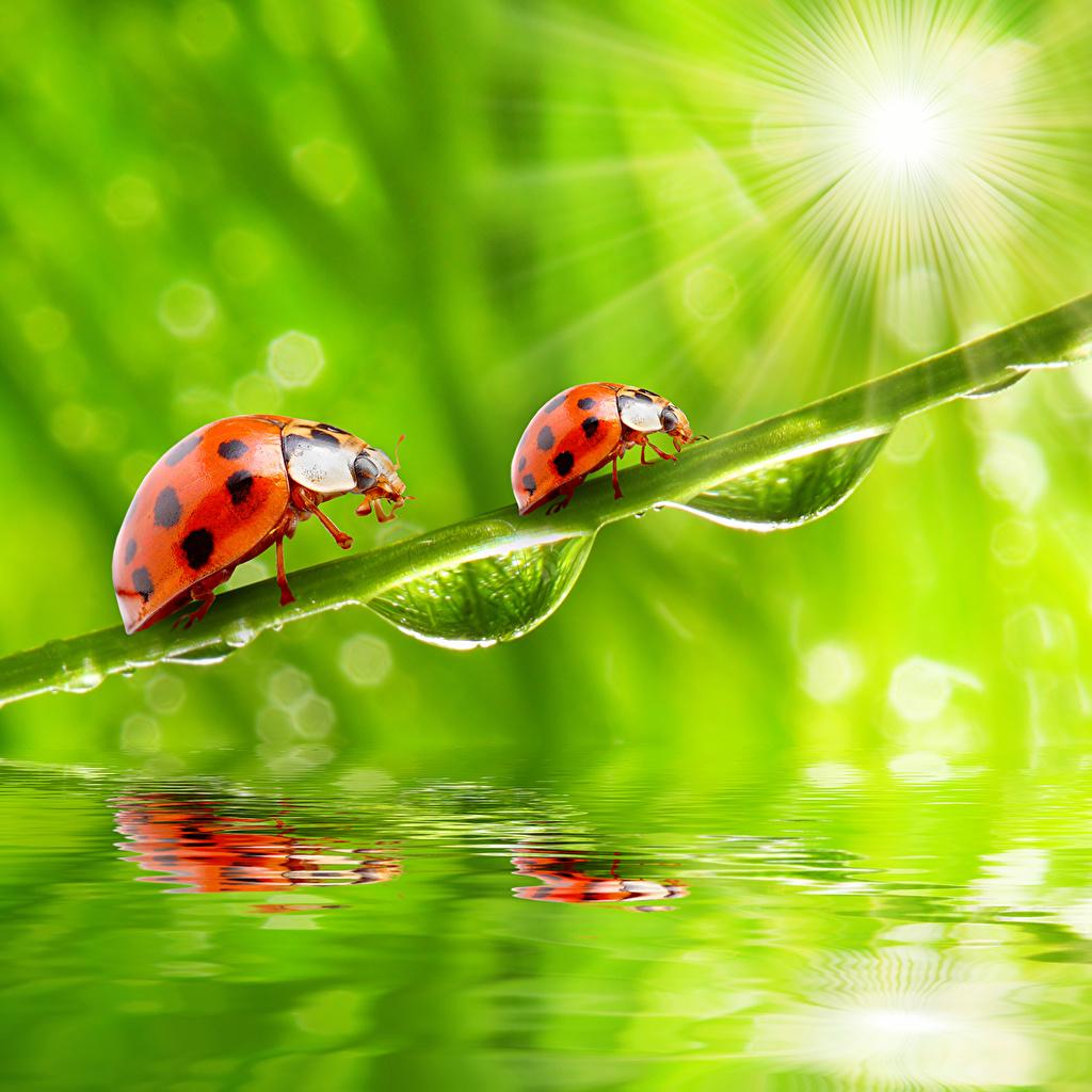Photo Rays of light Coccinellidae Two Drops Closeup Animals Ladybird Ladybugs Lady beetle 2 animal